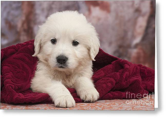 On Blanket Greeting Cards - Golden Retriever Puppy Dog Greeting Card by Jean-Michel Labat