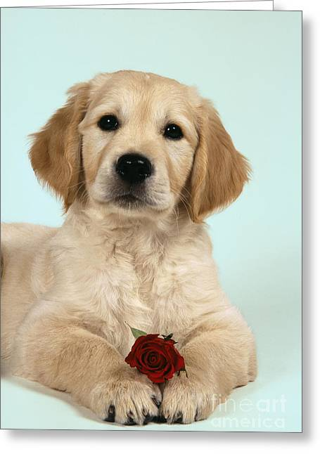 Golden Retriever Puppy With Rose Greeting Card by John Daniels