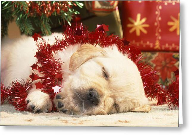 Golden Retiever Puppies Greeting Cards - Golden Retriever Under Christmas Tree Greeting Card by John Daniels