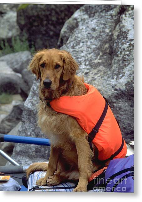 Life Jacket Greeting Cards - Golden Retriever Wearing Life Jacket Greeting Card by William H. Mullins