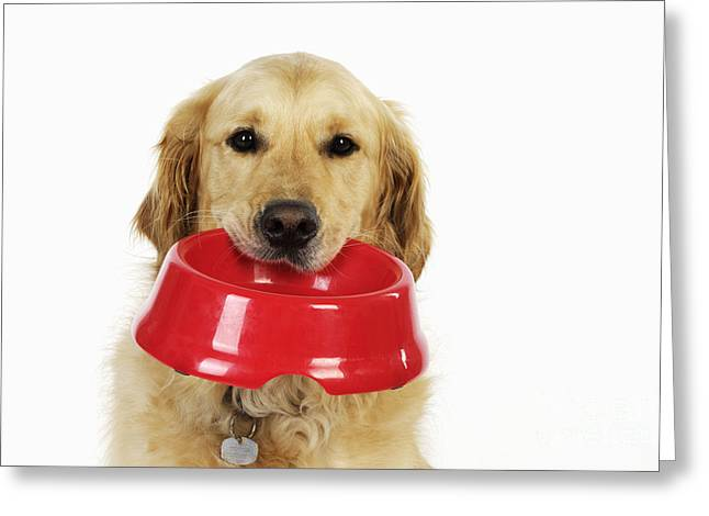 Begging Bowl Greeting Cards - Golden Retriever With Bowl Greeting Card by John Daniels