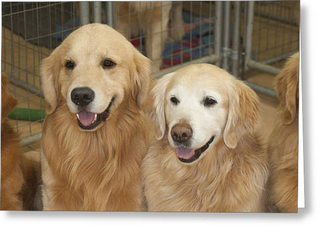 Best Friend Greeting Cards - Golden Retrievers Greeting Card by Shelley Dennis