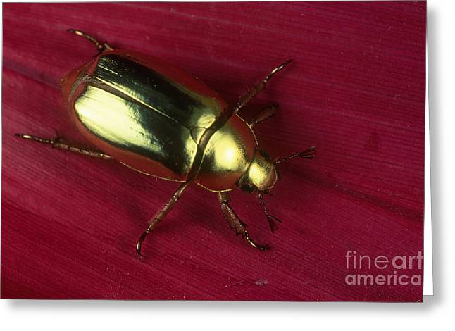 Scarab Greeting Cards - Golden Scarab Beetle Greeting Card by Gregory G. Dimijian, M.D.