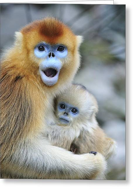 Yang Greeting Cards - Golden Snub-nosed Monkey And Young China Greeting Card by Thomas Marent