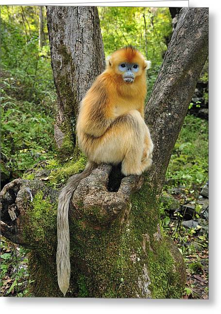 Xian Greeting Cards - Golden Snub-nosed Monkey Juvenile China Greeting Card by Thomas Marent
