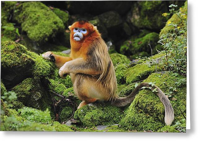 Xian Greeting Cards - Golden Snub-nosed Monkey Male China Greeting Card by Thomas Marent