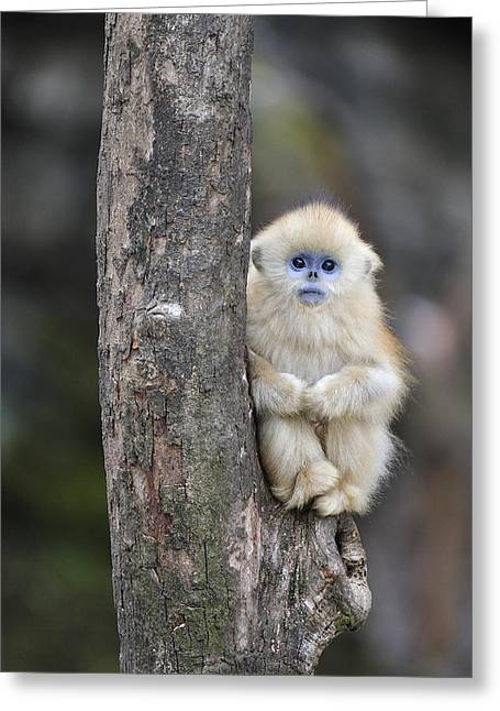Xian Greeting Cards - Golden Snub-nosed Monkey Young China Greeting Card by Thomas Marent