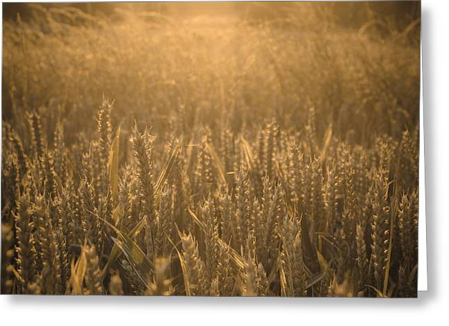 Summer Wheat Greeting Cards - Golden summer harvest Greeting Card by Chris Fletcher