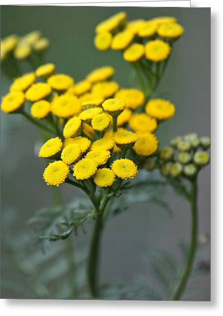 Gold Buttons Greeting Cards - Golden Tansy Greeting Card by Karon Melillo DeVega