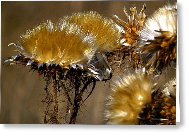 Golden Thistle Greeting Card by Bill Gallagher