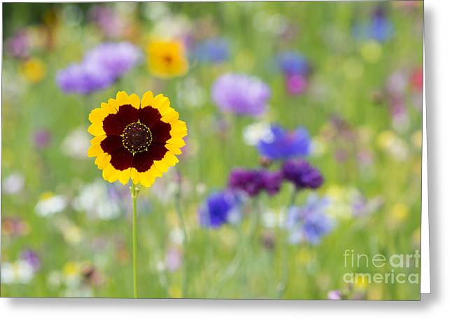 Golden Tickseed Greeting Card by Tim Gainey