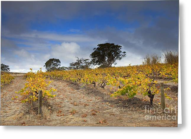 Grapevine Photographs Greeting Cards - Golden Vines Greeting Card by Mike  Dawson