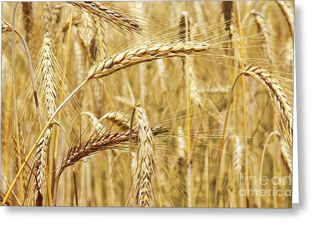 Haying Greeting Cards - Golden Wheat  Greeting Card by Carlos Caetano