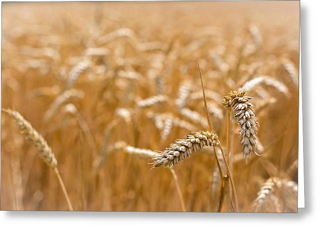 Golden Greeting Cards - Golden Wheat. Greeting Card by Gary Gillette