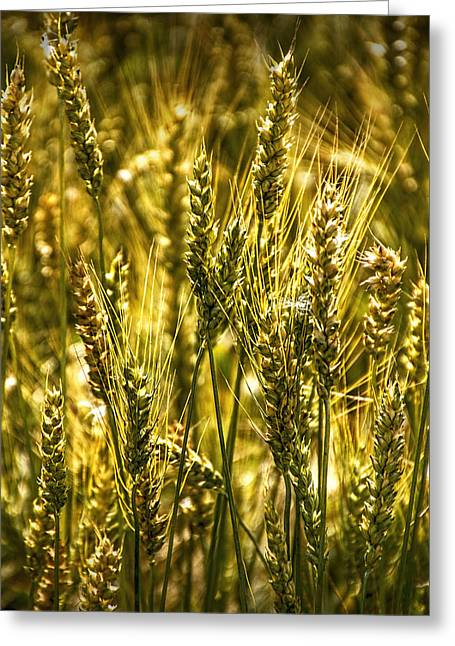 Edmonton Greeting Cards - Golden Wheat Stalks Greeting Card by Randall Nyhof