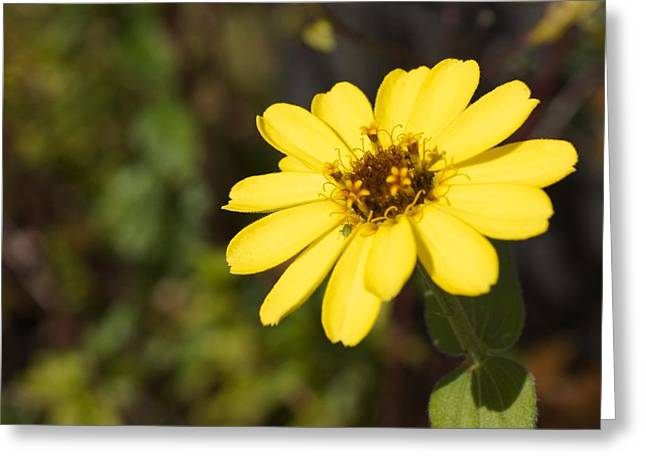Golden Zinnia Greeting Card by Photographic Arts And Design Studio