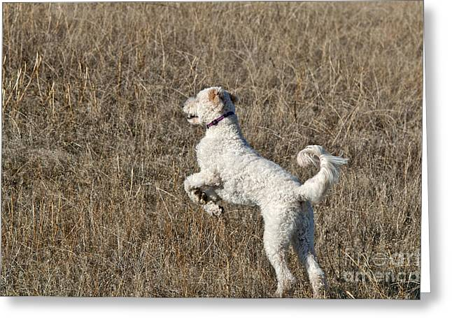 Cross Breed Greeting Cards - Goldendoodle Jumping Greeting Card by William H. Mullins