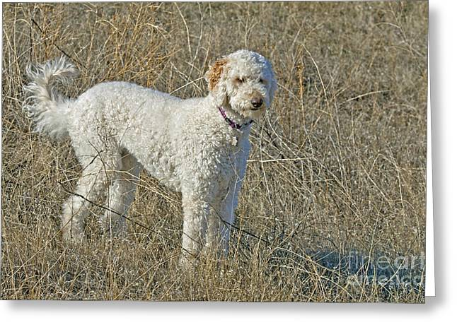 Cross Breed Greeting Cards - Goldendoodle Greeting Card by William H. Mullins