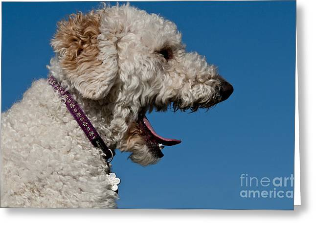 Cross Breed Greeting Cards - Goldendoodle Yawning Greeting Card by William H. Mullins