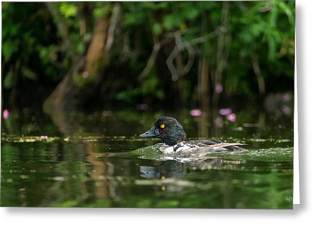 Water Fowl Photographs Greeting Cards - Goldeneye Greeting Card by Everet Regal