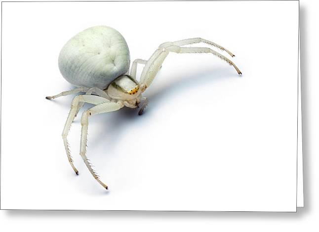 Goldenrod Crab Spider Greeting Card by Alex Hyde