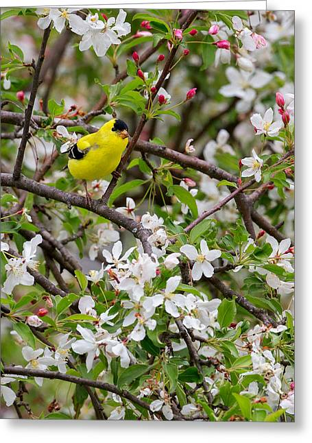 Birds With Flowers Greeting Cards - Goldfinch Greeting Card by Bill  Wakeley
