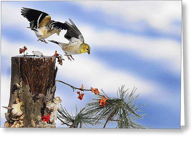 Photos Of Lichen Greeting Cards - Goldfiches flying over lichen stump Greeting Card by Randall Branham