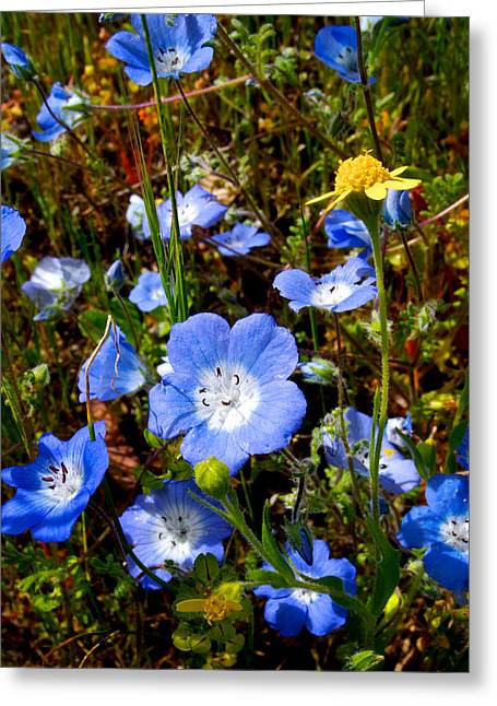 Escapees Greeting Cards - Goldfields and Baby Blue Eyes in Park Sierra-CA Greeting Card by Ruth Hager