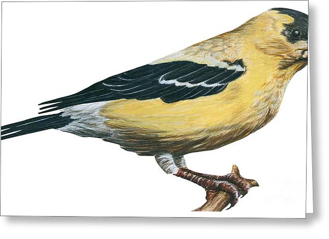 White Background Drawings Greeting Cards - Goldfinch  Greeting Card by Anonymous
