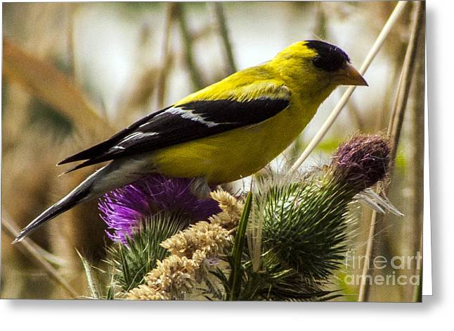 Goldfinch Atop A Purple Thistle Greeting Card by Darleen Stry