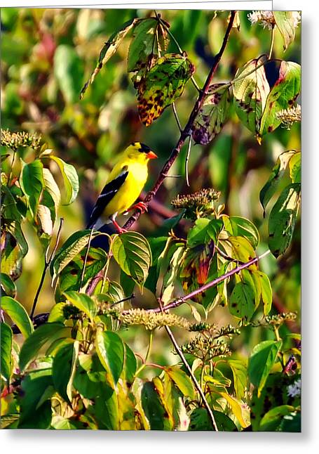 Songbird Prints Greeting Cards - Goldfinch In A Tree Greeting Card by Chris Flees