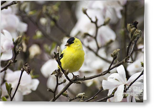 Goldfinch Spring - D008418 Greeting Card by Daniel Dempster