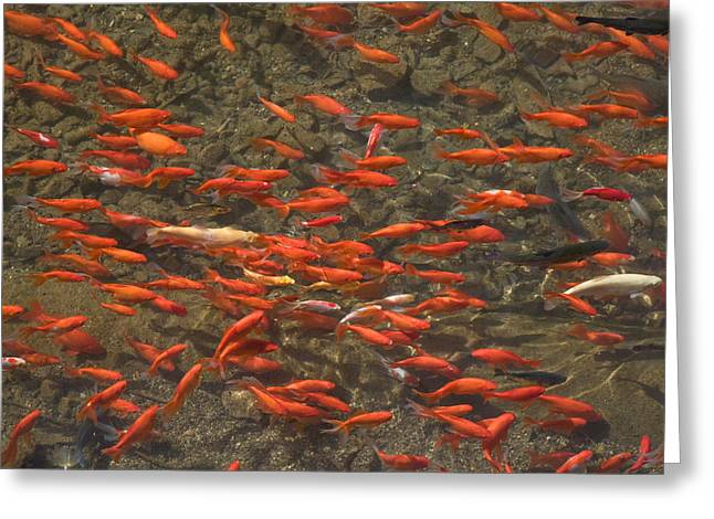 School Of Fish Greeting Cards - Goldfish Carassius Auratus Swimming Greeting Card by Panoramic Images
