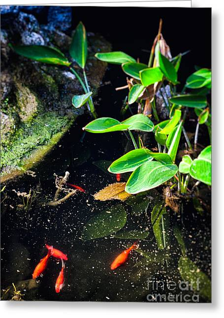 Aquatic Greeting Cards - Goldfish in pond Greeting Card by Silvia Ganora