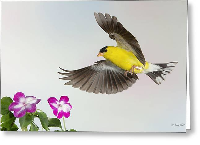 Gerry Greeting Cards - Goldie Confronting His Impatiens Greeting Card by Gerry Sibell