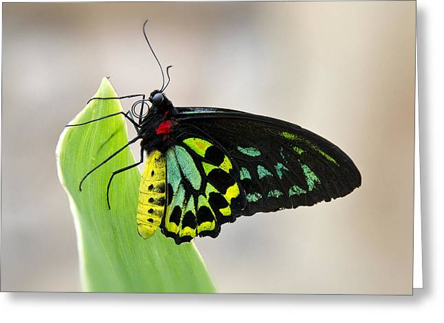 Goliath Greeting Cards - Goliath Birdwing Butterfly  Greeting Card by Saija  Lehtonen