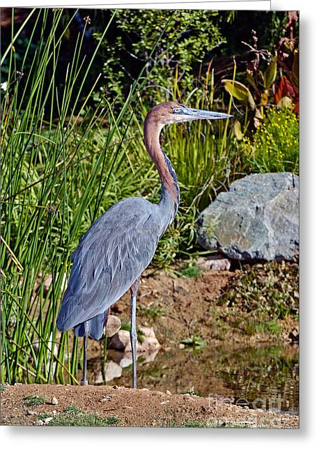 Goliath Greeting Cards - Goliath Heron By Water Greeting Card by Anthony Mercieca