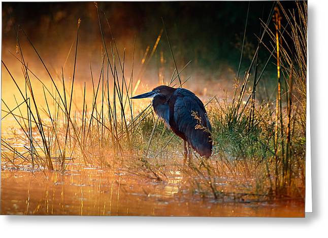 Golden Greeting Cards - Goliath heron with sunrise over misty river Greeting Card by Johan Swanepoel