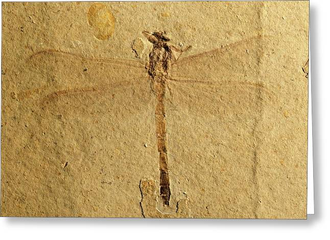 Gomphidae Dragonfly Fossil Greeting Card by Gilles Mermet