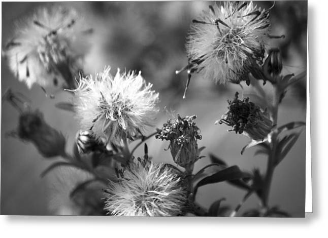 Renewing Greeting Cards - Gone To Seed Wild Asters Squared Greeting Card by Teresa Mucha
