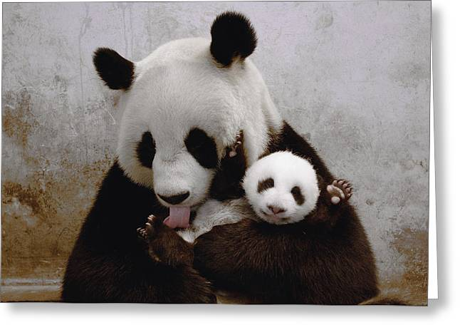 Wolong Nature Reserve Greeting Cards - Gongzhu And Her Cub Wolong  China Greeting Card by Katherine Feng
