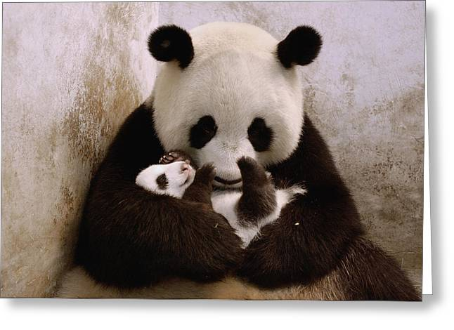 Wolong Nature Reserve Greeting Cards - Gongzhu Holding Her Cub  Wolong China Greeting Card by Katherine Feng