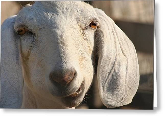 Goat Photographs Greeting Cards - Goofy Goat Greeting Card by Art Block Collections