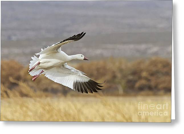 Ruth Jolly Greeting Cards - Goose above the corn Greeting Card by Ruth Jolly