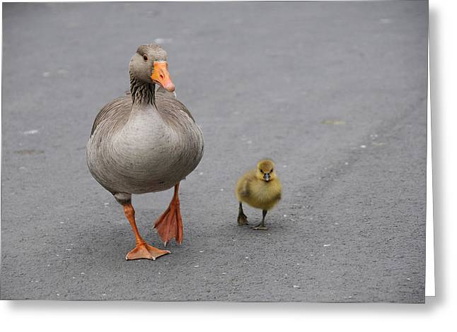 Caring Mother Greeting Cards - Goose and Gosling Greeting Card by Jeff Dalton