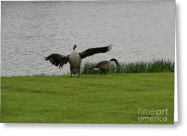 Breezy Greeting Cards - Goose Dance Greeting Card by Joseph Baril