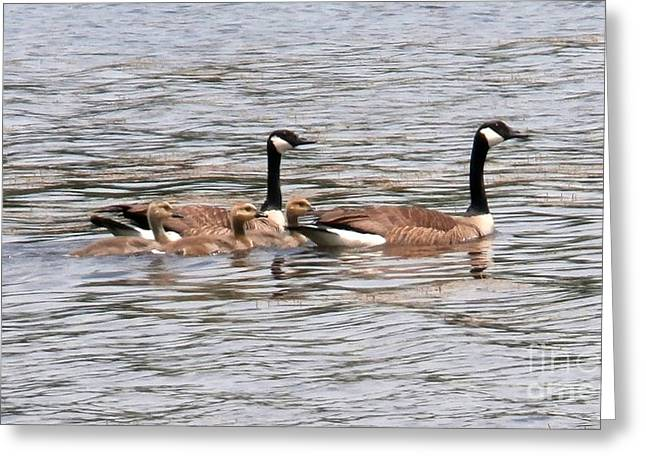 Breezy Greeting Cards - Goose Family Swim Greeting Card by Joseph Baril