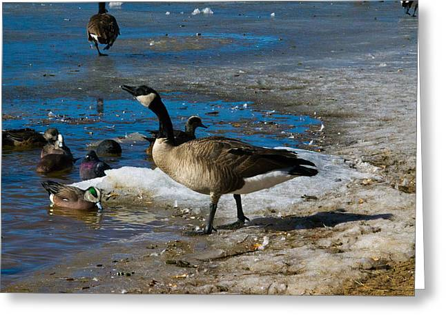 Goose Gazing Greater Greeting Card by Matt Radcliffe
