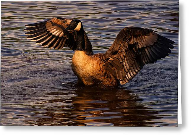 Bird Pictures Greeting Cards - Goose Preparing For Flight Greeting Card by Chris Flees