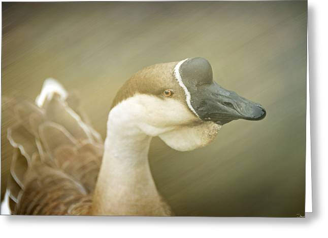 Purchase Greeting Cards - Goose Greeting Card by Steven  Michael